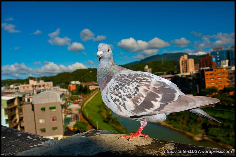 鴿子小紅-011.jpg (810×540)