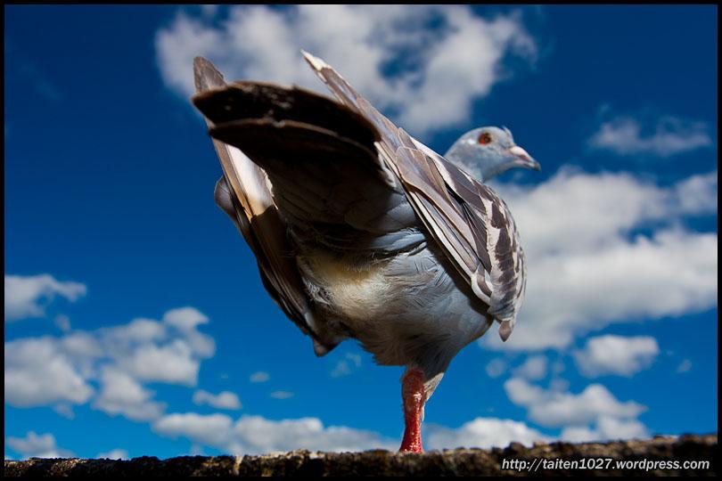 鴿子小紅-014.jpg (810×540)