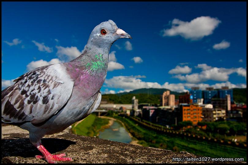 鴿子小紅-016.jpg (810×540)