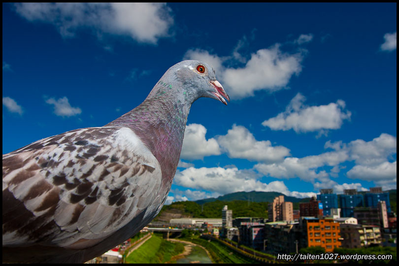 鴿子小紅-015.jpg (810×540)